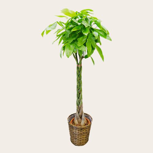 開院 祝い 観葉 植物 開院祝いのお花や胡蝶蘭・観葉植物・アレンジメントなどのお祝い花と...