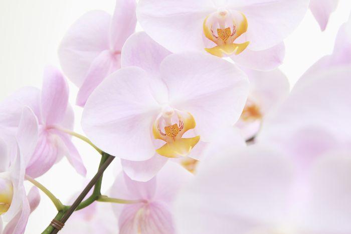 色ごとに違いも胡蝶蘭をプレゼントすることの意味とは