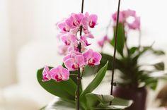 部屋に飾られた胡蝶蘭