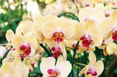 きれいな黄色の胡蝶蘭