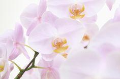 きれいなピンクの胡蝶蘭