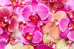 ピンクと黄色の胡蝶蘭のアップ