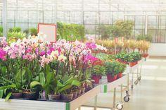 胡蝶蘭の販売 イメージ