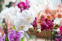 たくさんの色の胡蝶蘭