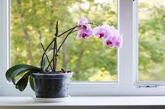 花が落ち始めた窓際の胡蝶蘭
