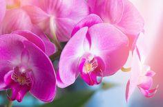 光とピンク色の胡蝶蘭