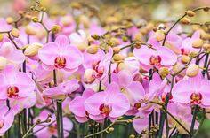 ピンク色の胡蝶蘭の花とつぼみ