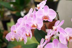 薄ピンクのきれいな胡蝶蘭