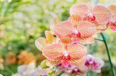 黄色にオレンジの模様の胡蝶蘭
