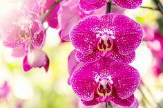ピンクのマダラ模様の胡蝶蘭
