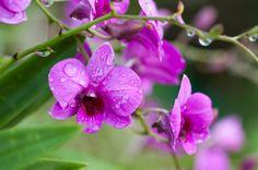 雨に濡れたピンク色の胡蝶蘭