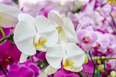 ピンクと白の胡蝶蘭
