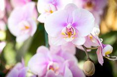 薄ピンク色の胡蝶蘭
