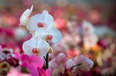 ピンク色と赤リップの胡蝶蘭