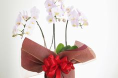 薄ピンク色の3本立て胡蝶蘭