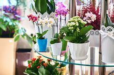 開業祝いの胡蝶蘭の鉢植え イメージ