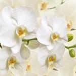 通販で購入できるきれいな胡蝶蘭 イメージ