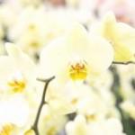 通販の胡蝶蘭 イメージ