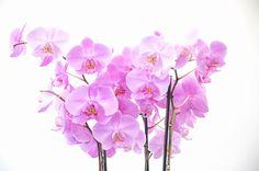 胡蝶蘭の通販 ピンクの胡蝶蘭