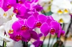 贈答用胡蝶蘭の鉢植え