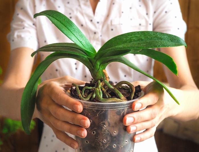 蘭 育て 方 の 胡蝶 胡蝶蘭の花が終わってもう一度咲かせる育て方・管理方法