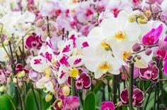 白い胡蝶蘭とカラー胡蝶蘭