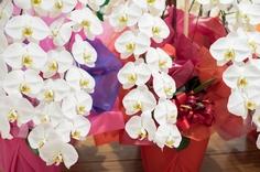 設立祝と周年祝の胡蝶蘭