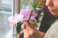 管理のもと育てられる胡蝶蘭