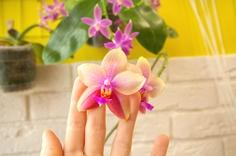 肥料を与えられた胡蝶蘭