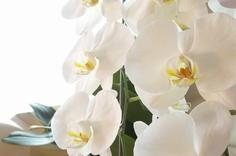 室内で育てられている胡蝶蘭と日照