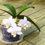花芽から咲いた胡蝶蘭 イメージ
