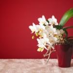 元気な胡蝶蘭と葉