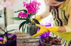 胡蝶蘭を植え替える女性