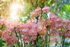 夏場の胡蝶蘭