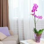 家でお留守番している胡蝶蘭