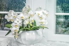 雨の日 室内栽培の胡蝶蘭