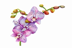 胡蝶蘭の絵