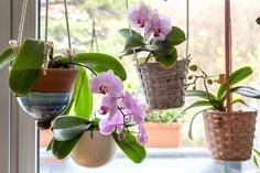 戸外の胡蝶蘭 イメージ