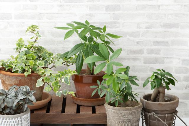 観葉植物 インテリア